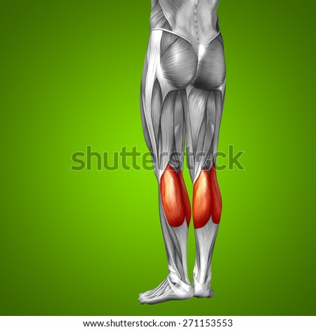 Conceptual 3D gastrocnemius human lower leg anatomy or anatomical muscle on green gradient background, metaphor to body, tendon, fit, foot, strong, biological, gym, fitness, skinless, health medical - stock photo