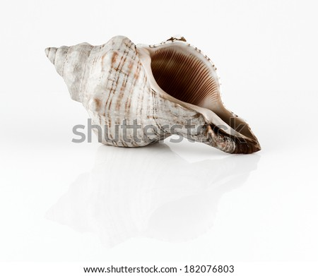 Conch shell isolated on white - stock photo