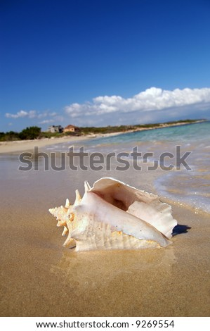 conch shell on beach - stock photo