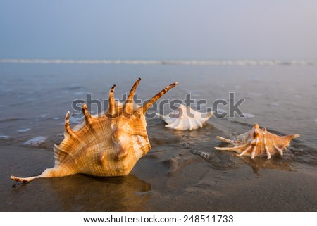 Conch shells lying on a beach at the edge of water with waves in the background - stock photo