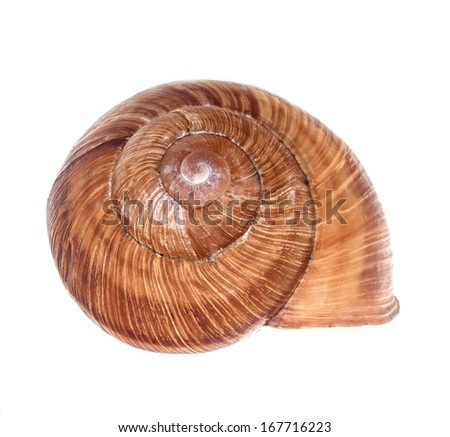 Conch snail on a white background - stock photo