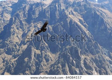 Condor and canyon at Colca Canyon, Peru - stock photo
