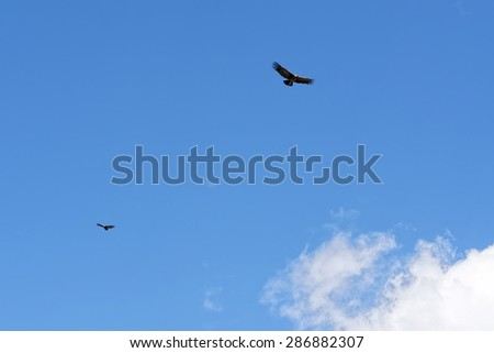 Condors in the Andes Sky - stock photo