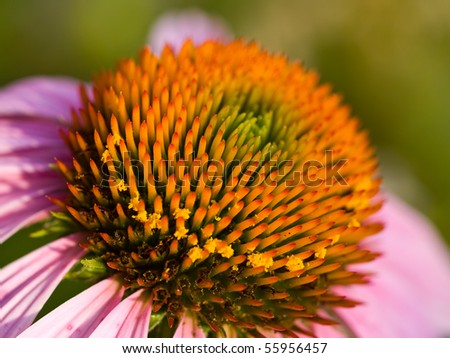 Cone Flower, also known as Echinacea, in a Garden - stock photo