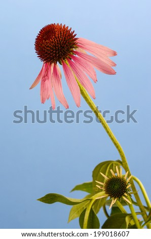 Coneflower (Echinacea purpurea) -- mature bloom above newly opened bloom against clear blue sky. - stock photo