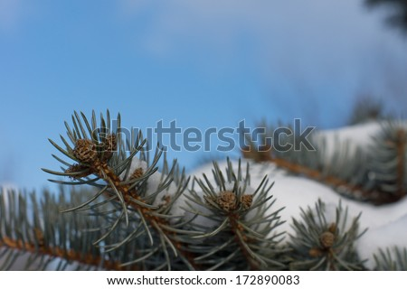 Cones growing on a snow covered pine branch against a sunny clear blue sky on a cold wintry day - stock photo