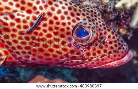 coney,Cephalopholis fulva at cleaning station underwater pederson shrimp - stock photo
