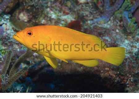 Coney grouper (Epinephelus fulvus) underwater in the coral reef of the caribbean sea  - stock photo