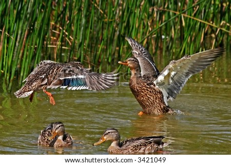 Conflict in duck family on coast of small lake. - stock photo