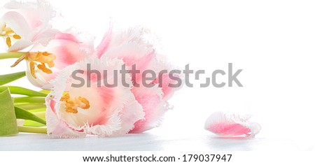 congratulation Pink and white terry tulips with petal - stock photo