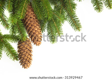 Conifer fir tree with pine cones on a white background. - stock photo