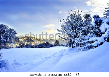 conifer forest in winter with snow - stock photo