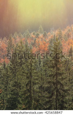 Coniferous and deciduous mountain forest in autumn colors, glowing morning sunrays lighting it. Seasons changing, unique sunlight concept, textured background.  - stock photo