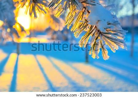 Coniferous branch against a colourful decline - stock photo
