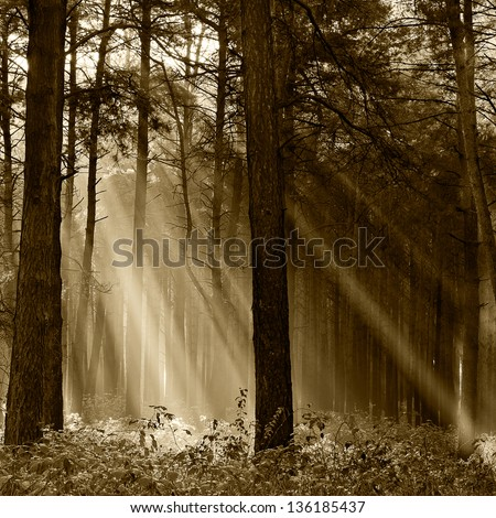 Coniferous forest illuminated by the morning sun on a foggy autumn day. Vintage - stock photo