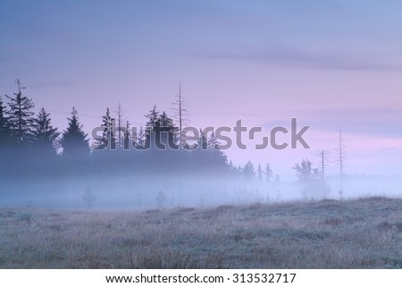 coniferous forest in morning fog before sunrise - stock photo