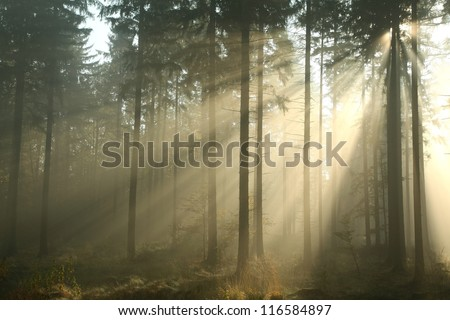 Coniferous forest on a misty autumn morning. - stock photo
