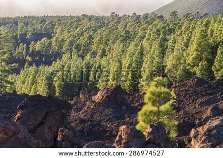 Coniferous forest on volcanic land, Teide National park, Tenerife island - stock photo