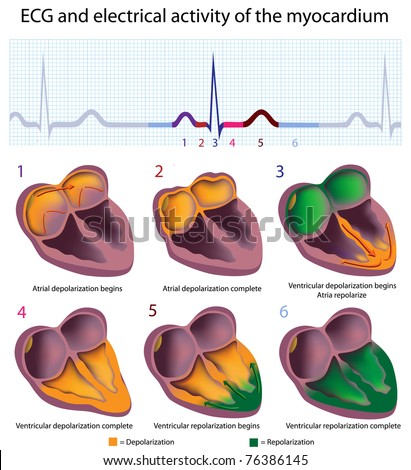 Connection between ECG and electrical activity of the heart - stock photo