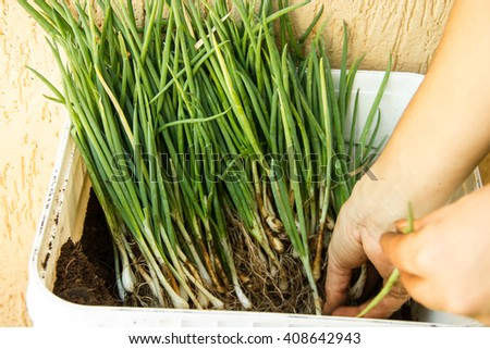 Container full of herbs (green onion, leek, chive) being prepared for planting - stock photo