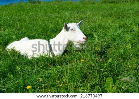 Content white billy goat in field, meadow. Farm animal in long grass - stock photo