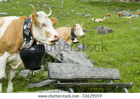 contented brown and white cow in mountain pasture - stock photo