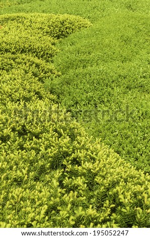 Contiguous hedges in a formal garden: Berryhill intermediate yew (binomial name: Taxus x media 'Berryhillii') (left), and boxwood (binomial name: Buxus) (right) in spring, Illinois, USA - stock photo
