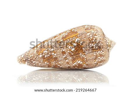 Conus aulicus, princely cone, predatory sea snail, cone shells, brown with white sea shell on white background Ocean marine seashell close up  - stock photo