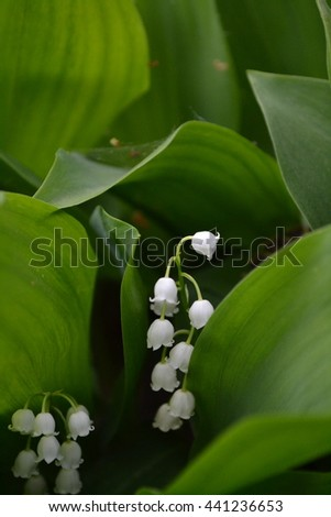 Convallaria majalis. White lily among the green leaves. Delicate small branches of inflorescences - stock photo