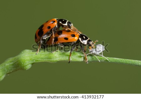 Convergent Lady Beetle (Hippodamia convergens) pair copulating, feeding on aphid. Patagonia, Argentina, South America. - stock photo