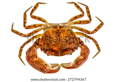 Cooked crab, isolated on white background - stock photo