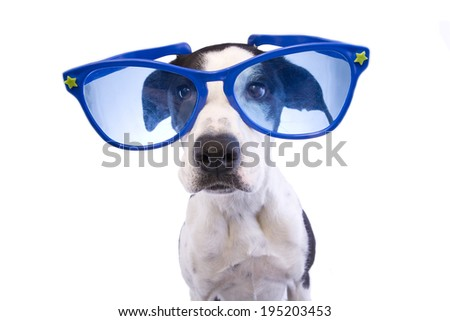 Cool Black and white Great Dane mix dog wearing big blue sunglasses isolated on white background - stock photo