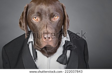 Cool Chocolate Labrador in Tuxedo against a Grey Background - stock photo