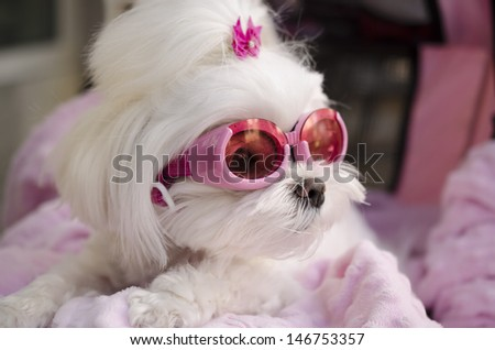 Cool fashionable Maltese doggy wearing goggles - stock photo