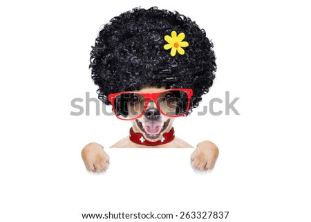 cool funny crazy silly chihuahua  dog wearing an afro look wig and yellow flower and red  sunglasses, behind white empty blank banner or placard, isolated on white background - stock photo