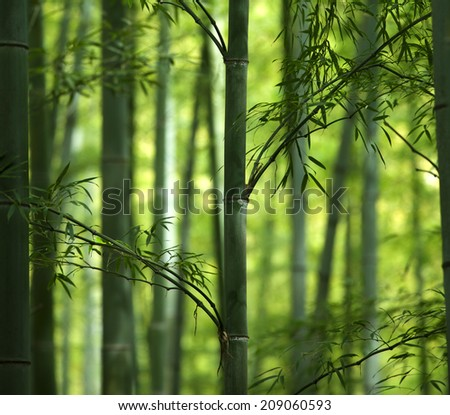 Cool green light and shade of bamboo forest. - stock photo