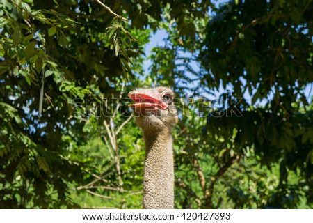 Cool ostrich is smiling. Close-up. - stock photo