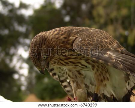 Cooper Hawk eating - stock photo