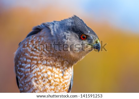 Cooper's Hawk at Hawk Ridge - stock photo