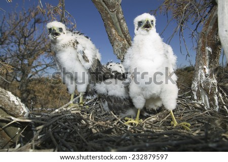 Cooper's Hawk Chicks - stock photo