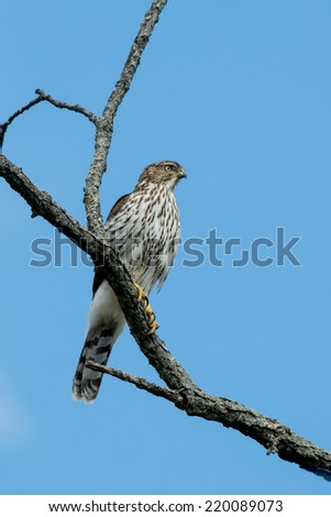 Cooper's Hawk perched in a tree. - stock photo