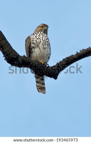 Cooper's Hawk perched on a dead branch. - stock photo