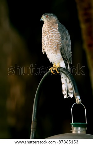 coopers hawk perched on bird feeder - stock photo