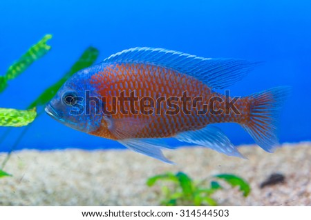 Copadichromis Borleyi Kadango Red - stock photo