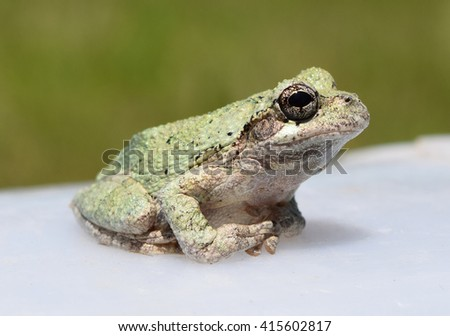 Cope's gray treefrog in Mississippi - stock photo