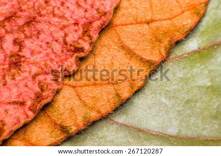 Copper - Gold - Green Leaf : Under Leaf of Bauhinia Aureifolia or Golden Leaves Liana (Very Soft Focus and Edge Blurry) - Abstract Texture Background - stock photo