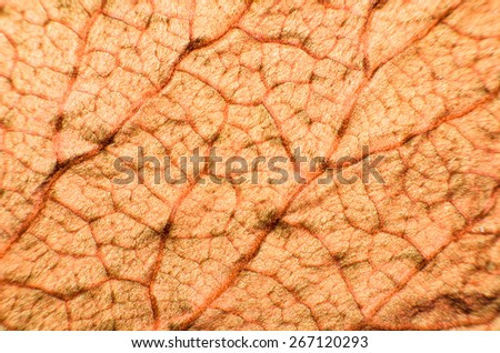 Copper Leaf : Under Leaf of Bauhinia Aureifolia or Golden Leaves Liana (Very Soft Focus and Edge Blurry) - Abstract Texture Background - stock photo