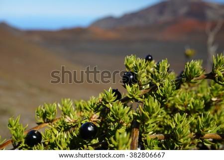 Coprosma ernodeoides (Kukaenene) in Haleakala Volcano, Maui, Hawaii - stock photo