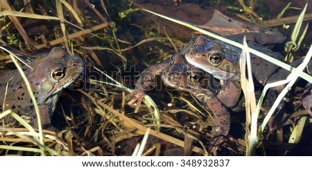 Copulation of The common frog (Rana temporaria) mating, also known as the European common frog, European common brown frog, or European grass frog, is a semi-aquatic amphibian  - stock photo