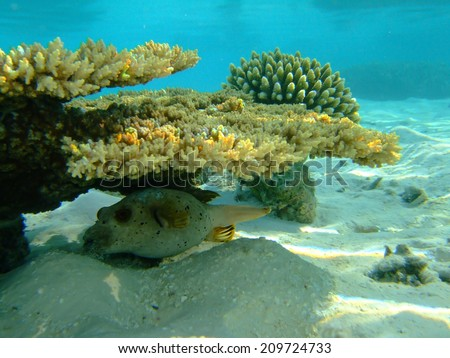 Coral and black spotted puffer fish - stock photo